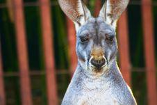 Free Kangaroo Staring Royalty Free Stock Image - 17746186