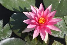 Free Water Lily Royalty Free Stock Image - 17746346