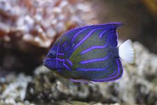 Free Blue Ring Angelfish Stock Photo - 17746960