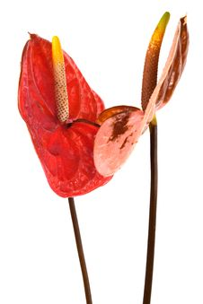 Free Two Anthurium Royalty Free Stock Images - 17747429