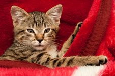 Free Kitten On A Red Blanket Royalty Free Stock Image - 17747736