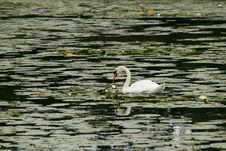 Free Swan In The Lake Royalty Free Stock Image - 17747746