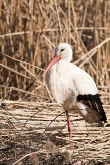 Free White Stork In Reed Site Royalty Free Stock Photography - 17747977