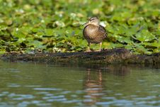 Free Mallard Duck Female Stock Photos - 17748073