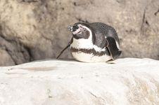 Free Humboldt Penguin Stock Image - 17748271