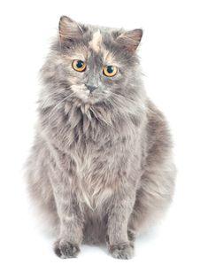 Free Gray Cat. Royalty Free Stock Photography - 17748347