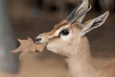 Free Dorcas Gazelle Portrait Royalty Free Stock Photo - 17748385