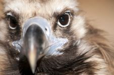 Free Griffon Vulture Portrait Stock Photos - 17748453