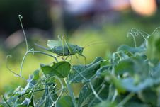 Free Grasshopper On A Green Leaf Stock Image - 17749521