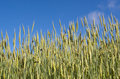 Free Wheat Field Under Blue Sky Royalty Free Stock Image - 17752646