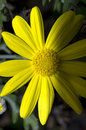 Free Yellow Daisy Stock Images - 17755934