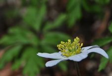 Free Anemone Nemorosa Stock Photo - 17752320