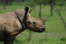 Free Documentary: White Rhinocerus(Ceratotherium Simum) Stock Image - 17752791