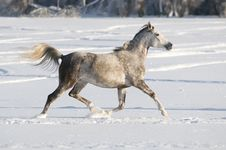Free White Horse Runs Trot Royalty Free Stock Images - 17753119