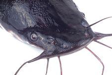 Free Catfish Royalty Free Stock Photos - 17754768