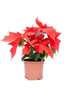 Free Poinsettia Pulcherrima Royalty Free Stock Images - 17755129