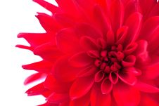 Free Macro View Of Red Flower Dahlia  Isolated Royalty Free Stock Photo - 17755755