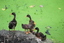 Free Green Algae In The Duck Stock Photos - 17756083