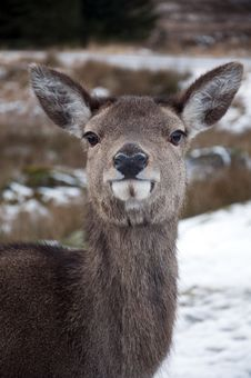 Free Female Deer In The Scottish Snow Stock Image - 17756131