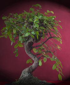 Free Bonsai Stock Photography - 17756142