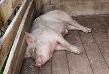 Free Pig Sleeping In A Pigpen Royalty Free Stock Photo - 17756395