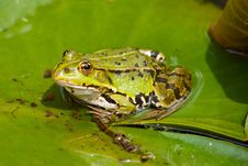 Free A Green Frog Sitting On The Leaf Royalty Free Stock Images - 17756529