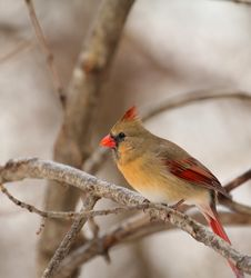 Free Female Northern Cardinal, Cardinalis Cardinalis Royalty Free Stock Photography - 17756737