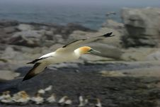 Free Flying Gannet Stock Photo - 17757270