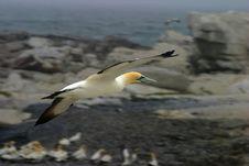 Flying Gannet Stock Photo