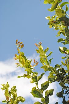 Free Lemon Tree With Sky Background Royalty Free Stock Images - 17758079