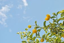 Free Natural Lemon Tree Stock Photography - 17758102