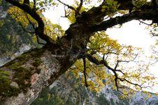 Free Oak Tree In Autumn Stock Image - 17758351