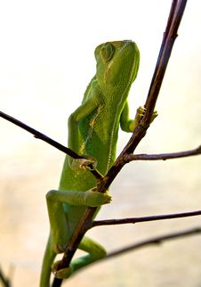 Free Chameleon Clambers Up Royalty Free Stock Photography - 17759597