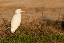 Free Cattle Egret Royalty Free Stock Images - 17759949