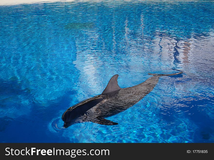 Dolphin in water