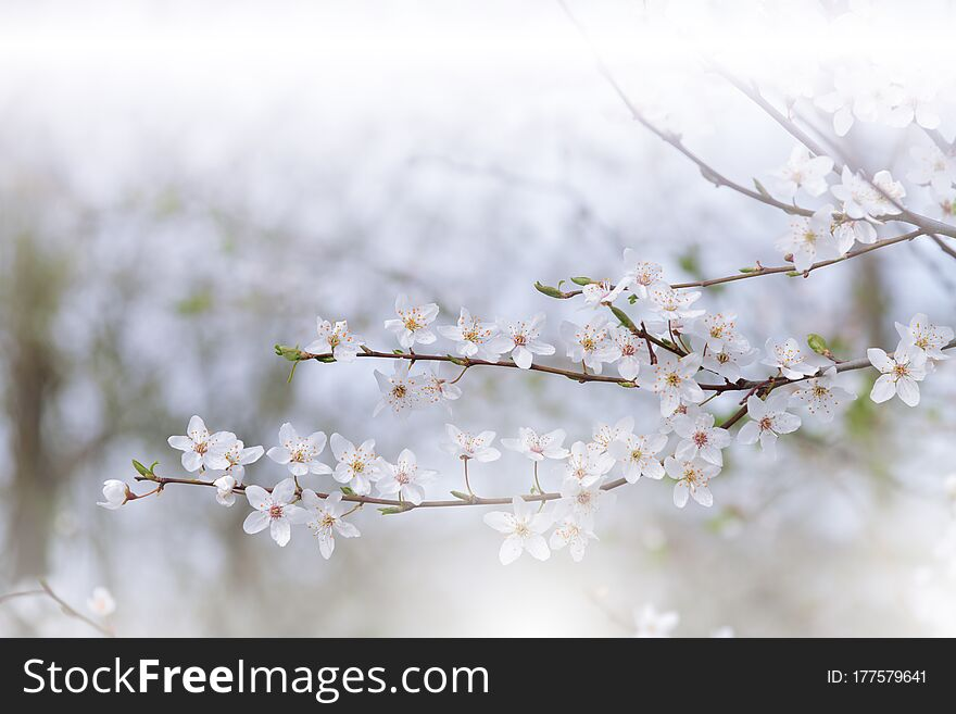 Beautiful Nature White Background.Abstract Wallpaper.Celebration.Holidays.Artistic Spring Flowers.Art Design.Cherry Blossom.Sakura