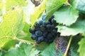 Free Grapes Stock Image - 17760441