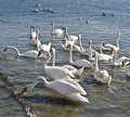 Free Swans Royalty Free Stock Images - 17766089