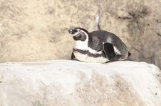Free Humboldt Penguin Royalty Free Stock Images - 17760009
