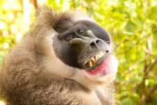 Free Drill Monkey Portrait Stock Photography - 17760032