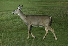 Free White Tailed Deer Stock Photography - 17760302