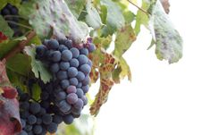 Free Grapes Royalty Free Stock Images - 17760459