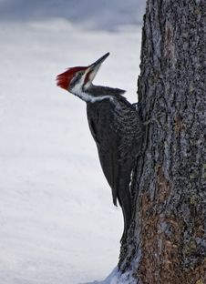 Free Pileated Woodpecker Stock Images - 17760584