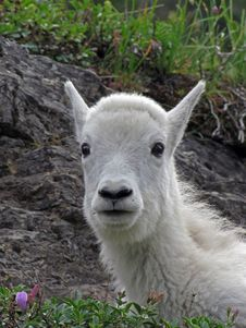Free Mountain Goat Kid Portrait Royalty Free Stock Image - 17761086