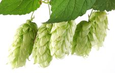 Free Branch Of Hops. Royalty Free Stock Images - 17761299