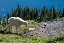 Free Young Mountain Goat On Cliff Royalty Free Stock Photo - 17762495