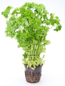 Free Bunch Of Parsley Royalty Free Stock Images - 17762789