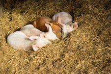 Free Baby Pigs Sleeping In Hay Royalty Free Stock Photo - 17764905