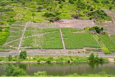 Free Vineyard In Moselle Valley Royalty Free Stock Photo - 17764945