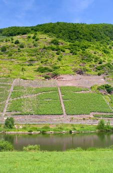 Free Vineyard In Moselle Valley Stock Images - 17764974